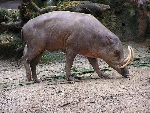 日本福岛变异野猪繁殖过盛
