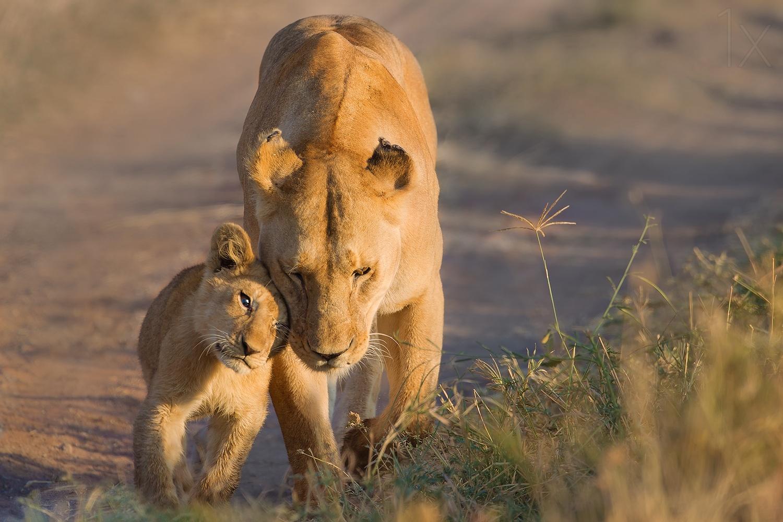 壁纸 动物 狮子 桌面 1500_1000