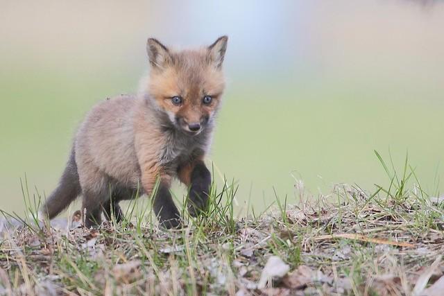 野外拍摄可爱有趣的狐狸