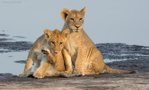 可爱的百兽之王 摄影师拍摄小狮子萌照-中关村在线