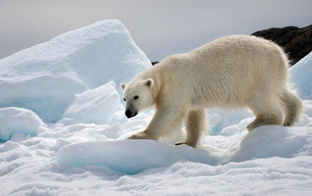 冰天雪地下的野兽 摄影师镜头下的北极熊