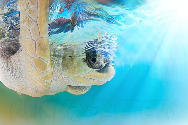 可爱的海洋生物 国外摄影师拍摄海龟照片