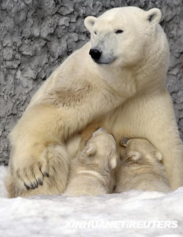 动物园,两只六个月大的双胞胎北极熊在熊妈妈身下