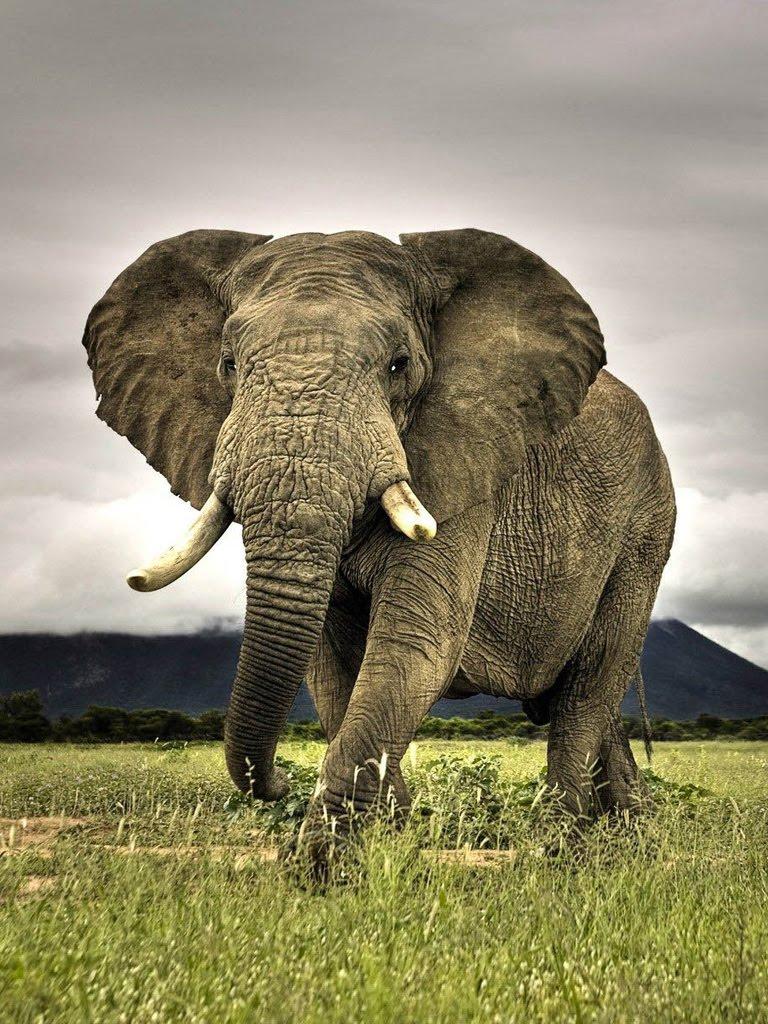 壁纸 大象 动物 768_1024 竖版 竖屏 手机